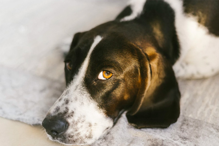 Understanding Whale Eyes In Dogs