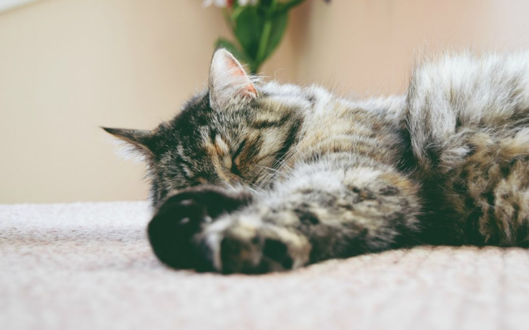 5 Tips to Providing the Best Geriatric and Senior Cat Care