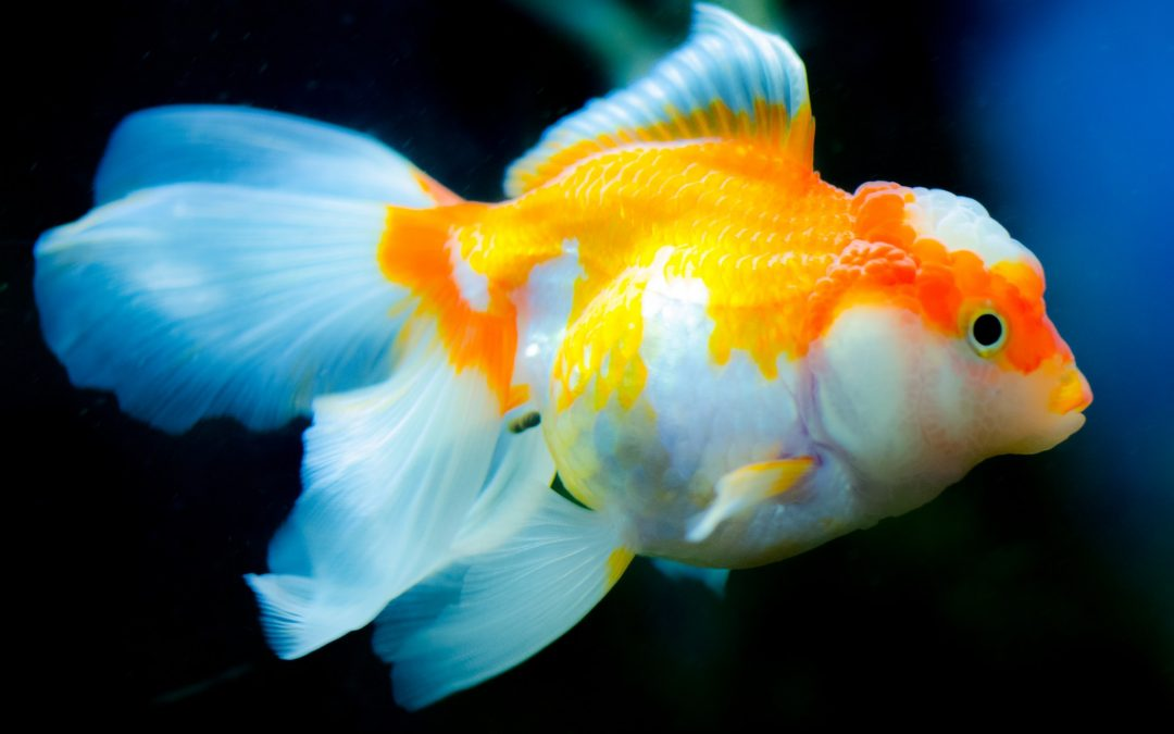 The Top 12 Pet Fish Species for Beginners